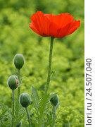 Купить «Turk's poppy seed, Papaver Oriental,», фото № 24507040, снято 15 мая 2009 г. (c) mauritius images / Фотобанк Лори