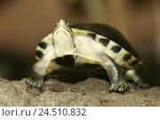 Купить «Zoo, terrarium, Amboina-hinge tortoise, Cuora amboinensis, terrarium, animals, animal, reptiles, reptile, tortoises, tortoise, Amboina hinge tortoise,...», фото № 24510832, снято 21 декабря 2004 г. (c) mauritius images / Фотобанк Лори