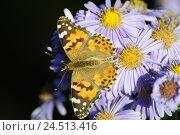Купить «Thistle butterfly, Vanessa cardui, blossom,», фото № 24513416, снято 9 декабря 2009 г. (c) mauritius images / Фотобанк Лори