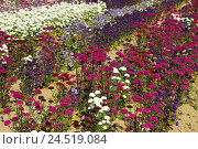 Купить «Summer asters, Callistephus chinensis,», фото № 24519084, снято 3 февраля 2010 г. (c) mauritius images / Фотобанк Лори