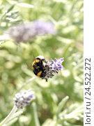 Купить «Bumblebee, lavender blossom,», фото № 24522272, снято 21 августа 2018 г. (c) mauritius images / Фотобанк Лори