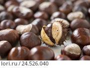 Купить «Horse chestnuts, semen sleeve, burst, detail, product photographys, chestnuts, horse chestnut semens, semens, capsule fruit, bestachelt, spiny, opened, blur, many,», фото № 24526040, снято 19 февраля 2009 г. (c) mauritius images / Фотобанк Лори