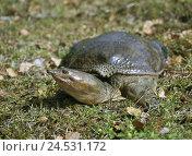 Купить «Meadow, Schnappschildkröte, Chelydra serpentina, wildlife, animal, reptile, alligator-turtle, turtle, Chelydra,», фото № 24531172, снято 18 августа 2018 г. (c) mauritius images / Фотобанк Лори