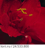 Купить «Amaryllis, dust vessels, flower pollen, close up, flower, ornamental flower, ornamental plant, plant, blossom, blossom, red, petals, pollen, polling,», фото № 24533800, снято 24 июня 2008 г. (c) mauritius images / Фотобанк Лори