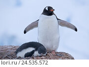 Купить «Antarctic, Neko Harbour, donkey penguins, Pygoscelis Papua, young animal,», фото № 24535572, снято 21 июня 2010 г. (c) mauritius images / Фотобанк Лори