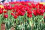 Клумба из тюльпанов в городе Тюмень, эксклюзивное фото № 24543388, снято 29 мая 2016 г. (c) Анатолий Матвейчук / Фотобанк Лори