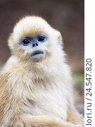 Купить «Young monkey, golden snub-nosed monkey, Rhinopithecus roxellana, portrait,», фото № 24547820, снято 18 ноября 2018 г. (c) mauritius images / Фотобанк Лори