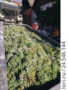 Купить «Vine harvest, tractor, trailer, grapes, family, break, no model release, Austria, Lower Austria, wine region, viticulture, grapes, harvest, harvest time...», фото № 24548144, снято 9 июля 2008 г. (c) mauritius images / Фотобанк Лори