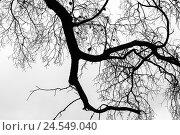 Купить «Leafless bare trees over gray sky background», фото № 24549040, снято 8 октября 2016 г. (c) EugeneSergeev / Фотобанк Лори