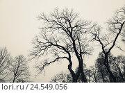 Купить «Leafless bare trees over gray sky», фото № 24549056, снято 7 ноября 2015 г. (c) EugeneSergeev / Фотобанк Лори