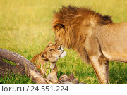 Купить «Portrait of beautiful lion and lioness cuddling», фото № 24551224, снято 18 августа 2015 г. (c) Сергей Новиков / Фотобанк Лори