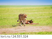 Купить «African cheetah after feasting on wildebeest kill», фото № 24551324, снято 19 августа 2015 г. (c) Сергей Новиков / Фотобанк Лори