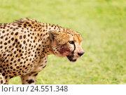 Купить «Side view portrait of wild cheetah after feasting», фото № 24551348, снято 19 августа 2015 г. (c) Сергей Новиков / Фотобанк Лори
