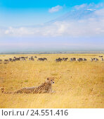 Купить «Cheetah laying on dried grass at Kenyan savanna», фото № 24551416, снято 20 августа 2015 г. (c) Сергей Новиков / Фотобанк Лори