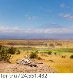 Купить «Cheetah having rest on a hill of Kenyan savanna», фото № 24551432, снято 20 августа 2015 г. (c) Сергей Новиков / Фотобанк Лори