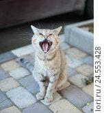 Купить «Кот зевает», фото № 24553428, снято 1 сентября 2016 г. (c) Петр Ермаков / Фотобанк Лори