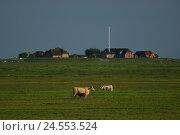 Купить «Germany, Schleswig - Holstein, north frieze country, Hallig Hooge, Throwing,», фото № 24553524, снято 29 сентября 2009 г. (c) mauritius images / Фотобанк Лори