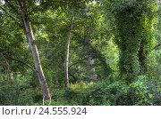 Купить «Deciduous forest, green, wood, trees, broad-leaved trees, climbers, plants, leaves, undergrowth, thicket, trunks, nobody,», фото № 24555924, снято 30 сентября 2009 г. (c) mauritius images / Фотобанк Лори