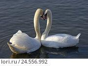 Купить «Hump-swans, Cygnus olor, water, advertises, performs courtship display,», фото № 24556992, снято 24 мая 2018 г. (c) mauritius images / Фотобанк Лори