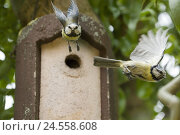 Купить «Nesting box, detail, blue tits, Cyanistes, caeruleus, flight, [M], animals, titmice, Paridae, songbirds, Passeres, sparrow's birds, Passeriformes, birds, spring, fly, wing, spread, blur, two,», фото № 24558608, снято 24 апреля 2018 г. (c) mauritius images / Фотобанк Лори