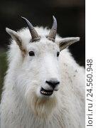 Купить «Mountain goat, Oreamnos americanus, portrait, front view, looking at camera,», фото № 24560948, снято 26 апреля 2019 г. (c) mauritius images / Фотобанк Лори