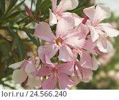 Купить «Oleander, blossoms, Nerium oleander, close up,», фото № 24566240, снято 2 марта 2011 г. (c) mauritius images / Фотобанк Лори