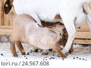 Купить «Boer's goat, house goat, Capra aegagrus hircus, young animal, snow, stand, winters, side view, suck,», фото № 24567608, снято 3 июня 2011 г. (c) mauritius images / Фотобанк Лори