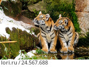 Купить «Siberian tigers, Panthera tigris altaica, young animals, shore, sitting, looking sideways,», фото № 24567688, снято 16 июля 2018 г. (c) mauritius images / Фотобанк Лори