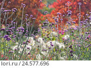 Купить «Butterfly's plant in front of autumn grass,», фото № 24577696, снято 15 октября 2010 г. (c) mauritius images / Фотобанк Лори
