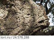 Купить «Cork oak, tree bark, detail,», фото № 24578288, снято 15 октября 2009 г. (c) mauritius images / Фотобанк Лори