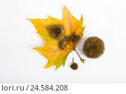 Купить «Plane tree leaves, semen fruits, cut outs, autumn, medium close-up,», фото № 24584208, снято 28 апреля 2009 г. (c) mauritius images / Фотобанк Лори