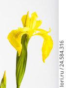 Купить «Iris, iris pseudacorus, detail, blossom, yellow,», фото № 24584316, снято 20 августа 2018 г. (c) mauritius images / Фотобанк Лори