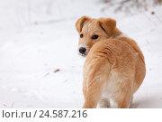 Купить «Беспородный рыжий щенок на снегу оглядывается назад», фото № 24587216, снято 26 ноября 2016 г. (c) Александр Цуркан / Фотобанк Лори