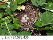 Яйца в гнезде славки ястребиной. Стоковое фото, фотограф Василий Вишневский / Фотобанк Лори