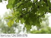 Купить «Oak, detail, leaves,», фото № 24589076, снято 12 января 2009 г. (c) mauritius images / Фотобанк Лори