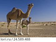 Купить «Dromedary mare, young animal, desert, camel, animal baby,», фото № 24589488, снято 20 августа 2018 г. (c) mauritius images / Фотобанк Лори