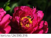 Купить «Peony, Paeonia, peonies, blossoming, red, Germany,», фото № 24590316, снято 21 августа 2018 г. (c) mauritius images / Фотобанк Лори