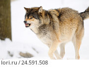 Купить «Timberwolf, Canis lupus lycaon, snow, side view, run, bare cogs, Germany,», фото № 24591508, снято 14 июня 2011 г. (c) mauritius images / Фотобанк Лори