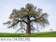 Купить «Meadow, common oak, Quercus robur, solitaire tree,», фото № 24592392, снято 6 ноября 2007 г. (c) mauritius images / Фотобанк Лори