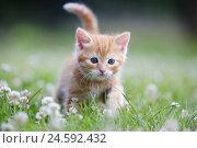 Купить «House cat, young animal, meadow,», фото № 24592432, снято 14 ноября 2018 г. (c) mauritius images / Фотобанк Лори