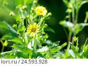 Купить «yellow arnica blossom, arnica, mountain arnica, Arnica Montana spec.,», фото № 24593928, снято 11 марта 2018 г. (c) mauritius images / Фотобанк Лори