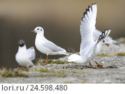 Купить «Black-headed gulls, Chroicocephalus ridibundus,», фото № 24598480, снято 20 июля 2018 г. (c) mauritius images / Фотобанк Лори