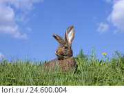Купить «rabbit, meadow, watchful, heaven», фото № 24600004, снято 18 августа 2018 г. (c) mauritius images / Фотобанк Лори
