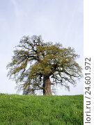 Купить «Meadow, common oak, Quercus robur, solitaire tree,», фото № 24601972, снято 6 ноября 2007 г. (c) mauritius images / Фотобанк Лори