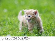Купить «House cat, young animal, meadow,», фото № 24602024, снято 14 ноября 2018 г. (c) mauritius images / Фотобанк Лори