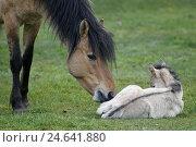 Купить «Dulmen Pony, mare, foals,», фото № 24641880, снято 20 августа 2018 г. (c) mauritius images / Фотобанк Лори