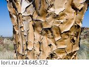 Купить «Africa, Namibia, Keetmanshoop, quiver tree, strain, crust, medium close-up,», фото № 24645572, снято 12 декабря 2007 г. (c) mauritius images / Фотобанк Лори