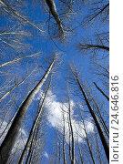 Купить «bald deciduous trees, below shot, blue heaven,», фото № 24646816, снято 17 августа 2018 г. (c) mauritius images / Фотобанк Лори