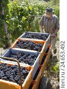 Купить «Vineyard, man, grape harvest,», фото № 24653492, снято 19 августа 2018 г. (c) mauritius images / Фотобанк Лори