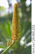 Купить «Aloe, blossom, close-up,», фото № 24660232, снято 16 июля 2018 г. (c) mauritius images / Фотобанк Лори